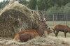 Elnių ūkis, elnių veisimas,pardavimas
